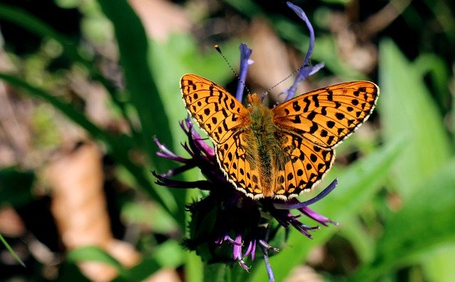 Wetlands - Mother Of Pearl Butterfly, Boloria Selene
