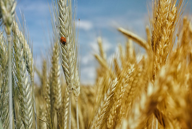 Cornfield, Wheat Field, Wheat, Cereals, Summer Holiday
