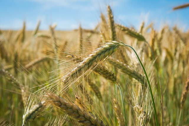 Field, Spikes, Nature, Wheat, Cereals, Agriculture