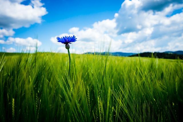 Cornflower, Cornfield, Wheat, Cereals, Arable