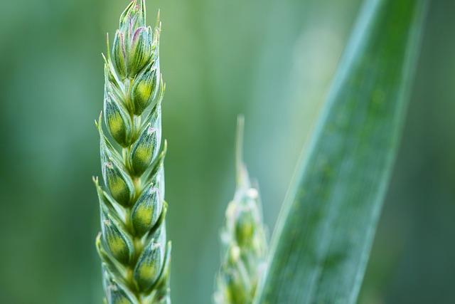 Crop, Wheat, Field, Plantation, Farm, Cropland, Food