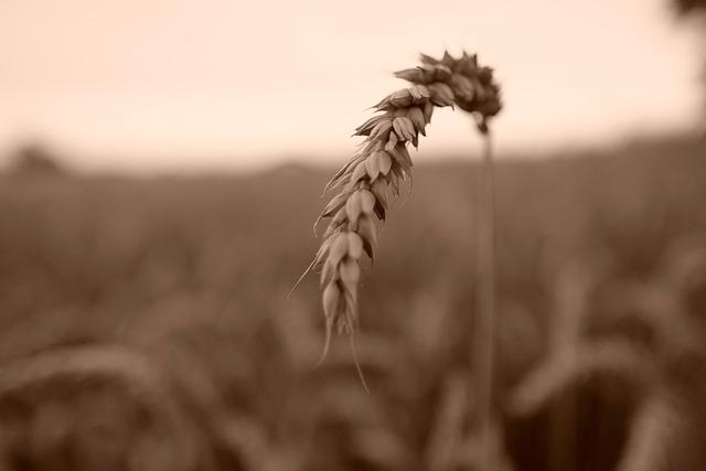 Field, Agriculture, Farm, Wheat, Harvest