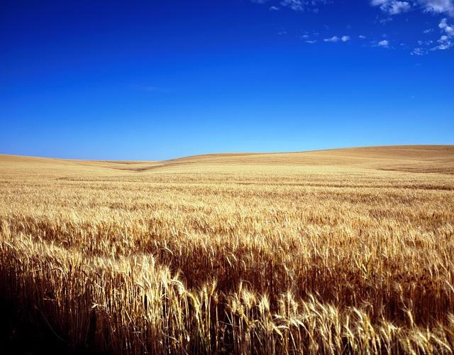 Cornfield, Wheat Field, Cereals, Grain, Wheat, Field