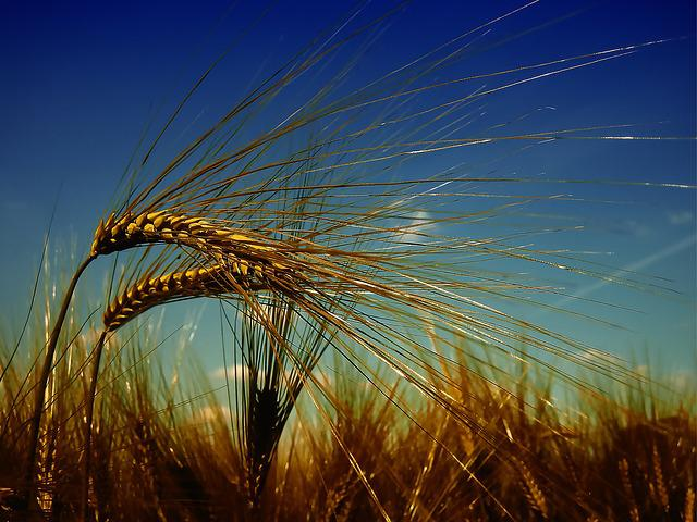 Wheat, Harvest, Summer, Cereals, Field, Durum Wheat