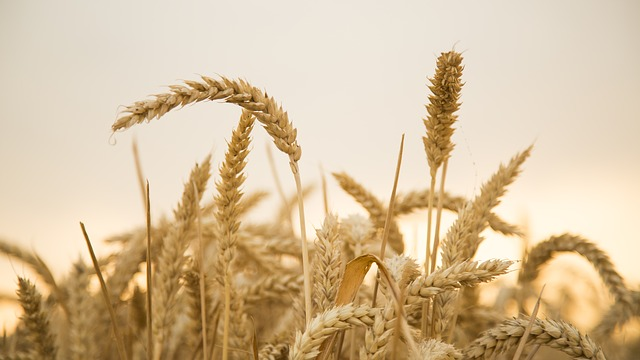 Wheat, Sunset, Harvest, Fruit Fact, 飽 Full
