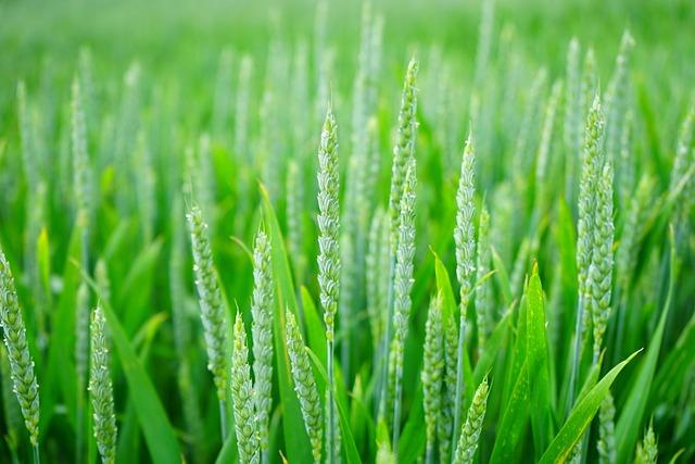 Green, Wheat, Field, Grass, Wheat Field, Barley, Crops
