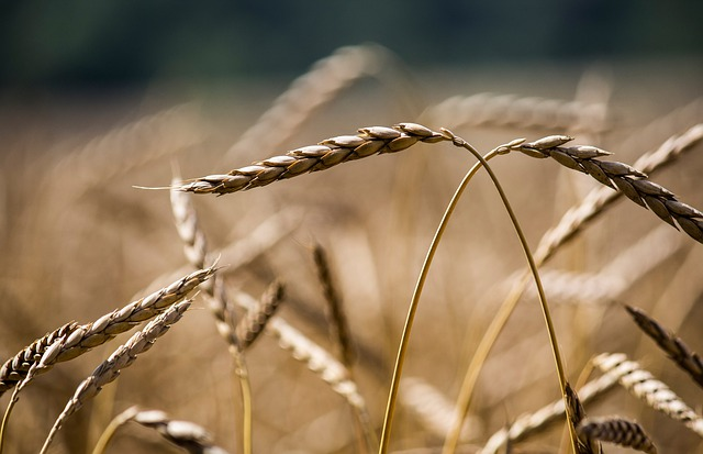 Harvest, Growth, Nature, Wheat, Agriculture, Straw, Dry