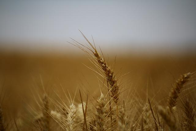 Wheat, Fields, Wheat Fields, Cereals, Epi, Harvest