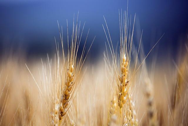 Hokkaido, Japan, Wheat, Food, Landscape, Tourism