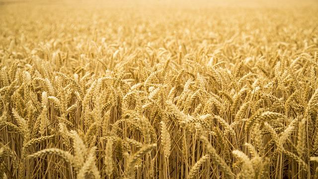 Mai Tian, Wheat, Open 闊, Landscape, Gold Yellow