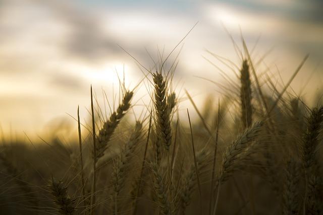 Wheat, Backlighting, Silhouette, Beautiful