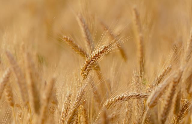 Wheat, Field, Spring, Summer, France, Epi, Durum Wheat