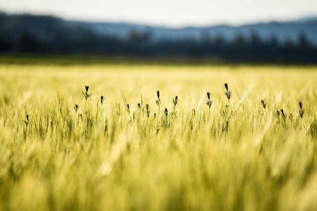 Cornfield, Summer, Wheat, Field, Agriculture, Grain