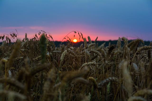 Wheat, Nature, Sunset, Wheatfield, Grain