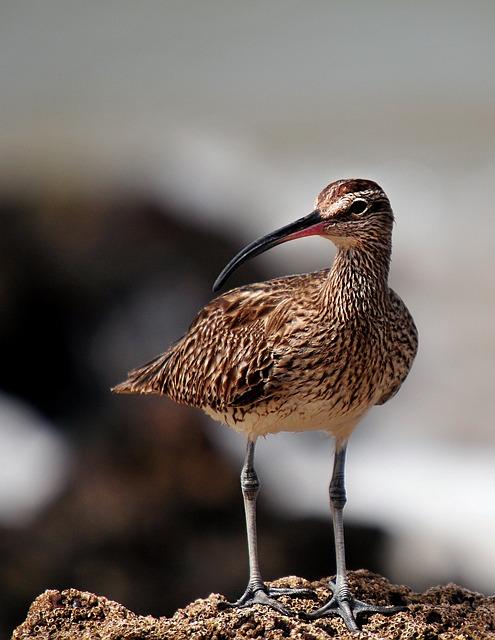 Whimbrel, Birds, Senegal, Fauna, Animal