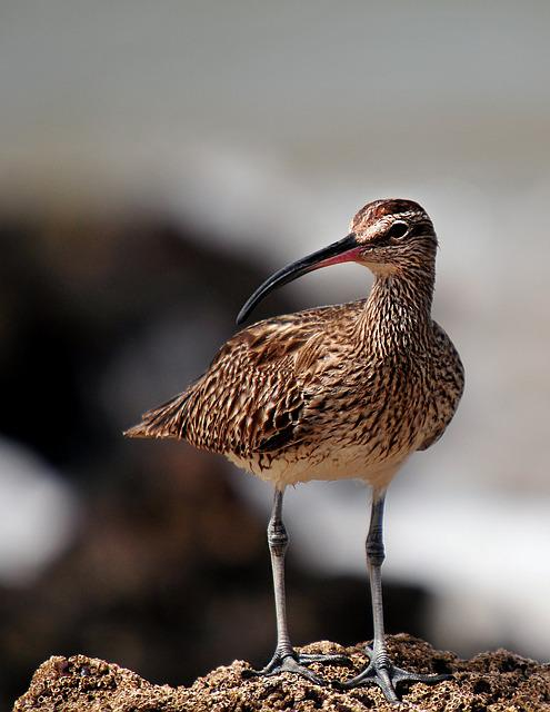 Whimbrel, Birds, Senegal, Fauna, Animal