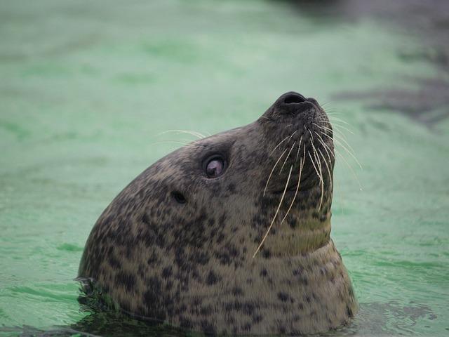 Seal, Whiskers, Eyes, Skin, Water, Swimming