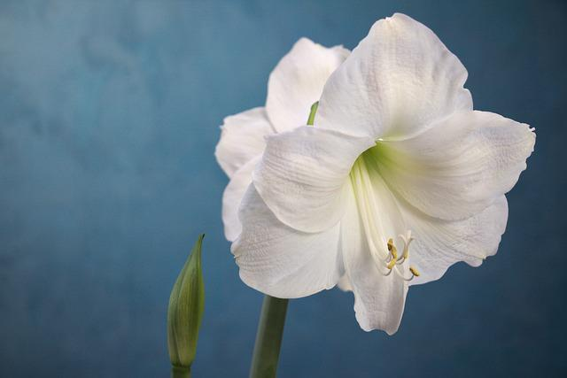 Amaryllis, White, Flower, Gardening, Plant