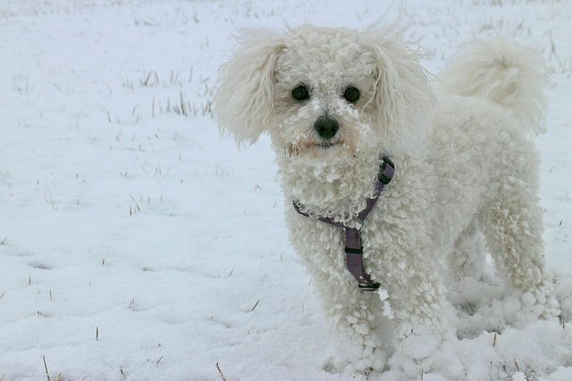 Animal, Dog, Snow, Winter, White, Bichon Frise