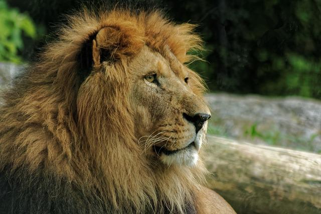 Leo, White, White Lion, Animal, Animals
