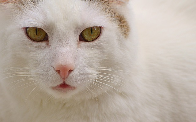 Cat, Domestic Cat, White, Pet, Animal, Kitten