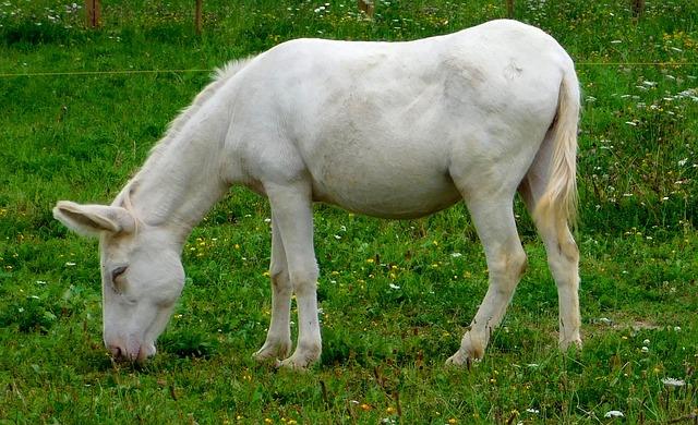 White Asses, Donkey, Donkey Eats, Donkey Eats Grass