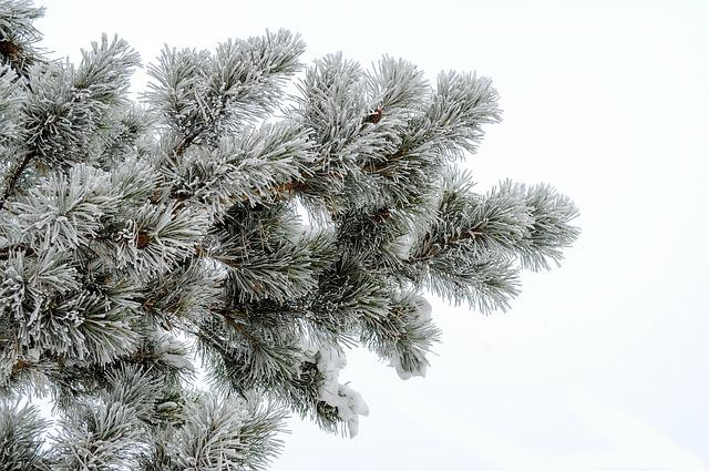 Pine, Frost, White Background, Needles, Snow, Branch