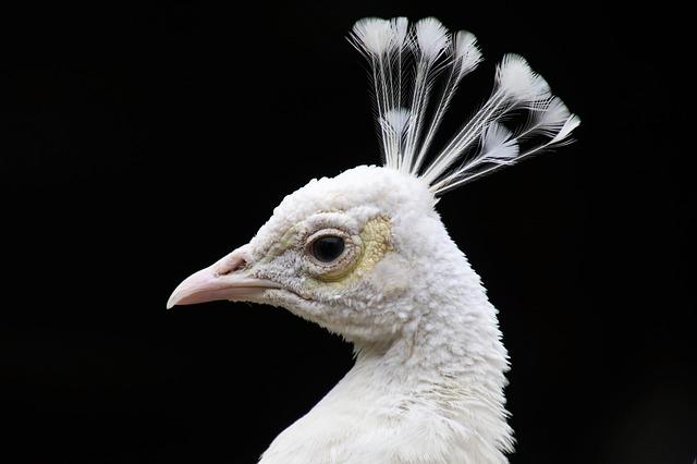 Peacock, White, Pen, Bird, Albino, Beak, Proud