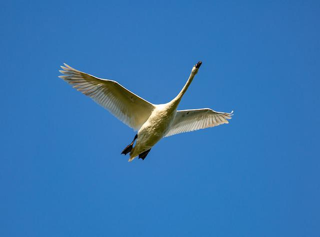 Swan In Flight, White Bird, Swan, Feathers, Pond, Birds