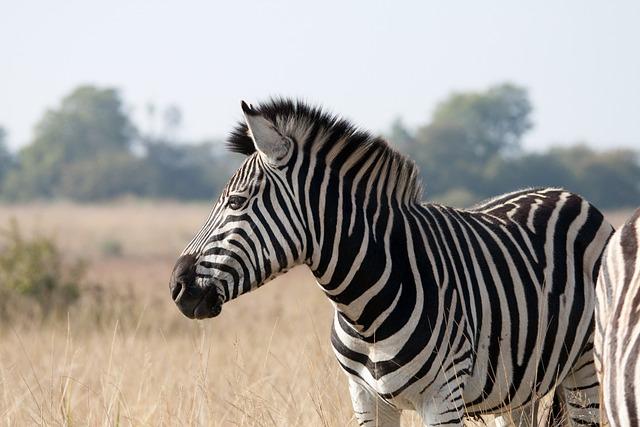 Zebra, Animal, Mammal, Wildlife, Game, Black, White