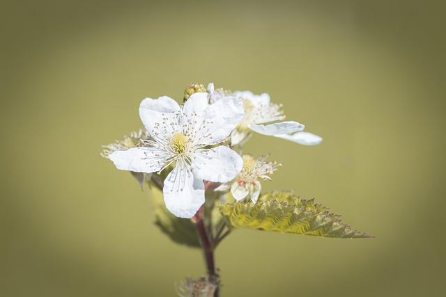 Blossom, Bloom, Blackberry, White, White Flowers