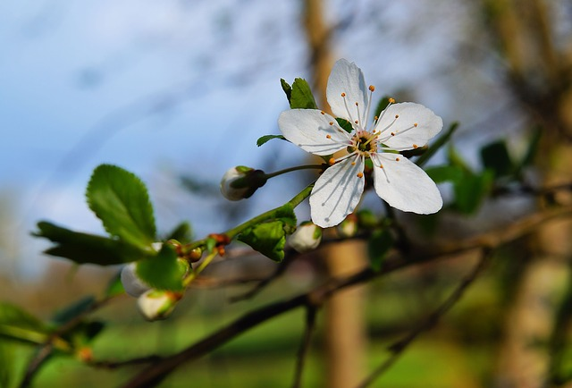 Blossom, Bloom, Apple Blossom, White, Apple Tree