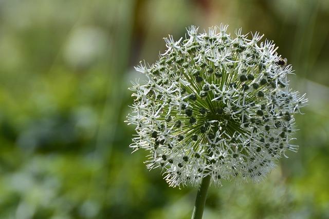 Ornamental Onion, White, Blossom, Bloom, Nature