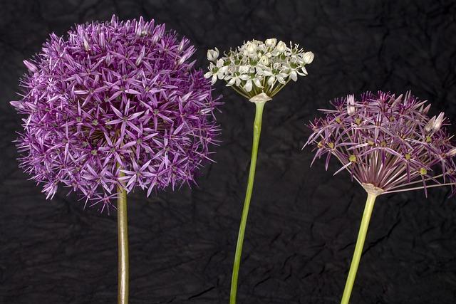 Flowers, Blossom, Bloom, Ornamental Onion, Pink, White