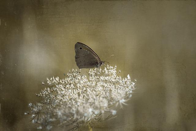 Butterfly, Meadow Brown, Blossom, Bloom, White