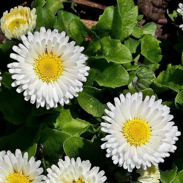 Daisy, Marie Flower, White Blossom, Meadow, Flower