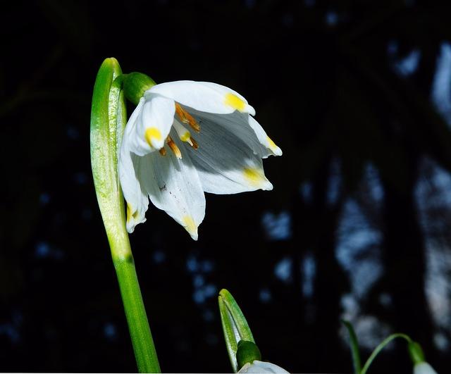 Fruehlingsknotenblume, Snowflake, Blossom, Bloom, White
