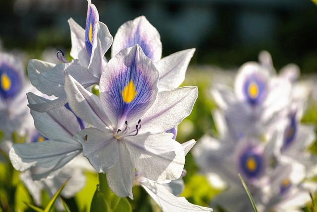 Flower Field, White Blue, Flower, Foliage, Sunlight