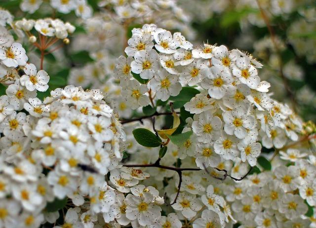 Bush, Spiere, Blossom, Bloom, Flowers, Bloom, White