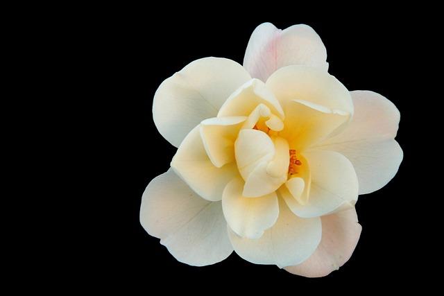 Bush Rose, White, Flowers, Park