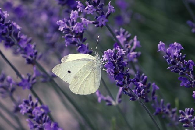 White, Pieris, Butterfly, Pieris Brassicae, Close Up