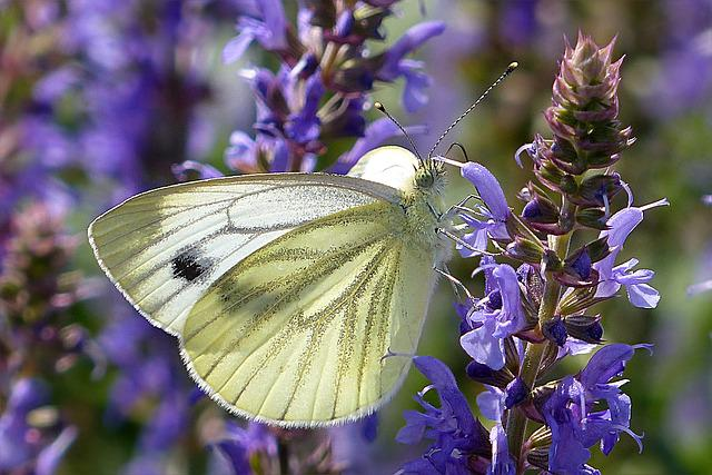 White, Pieris Rapae, Butterfly, Blue Flower