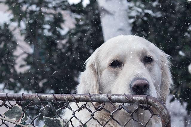 Dog, Pet, Retriever, White, Animal, Cute, Canine, Puppy