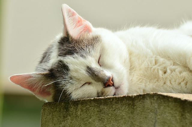 Cat, Cat Face, Sleep, Exhausted, White Cat, Pet