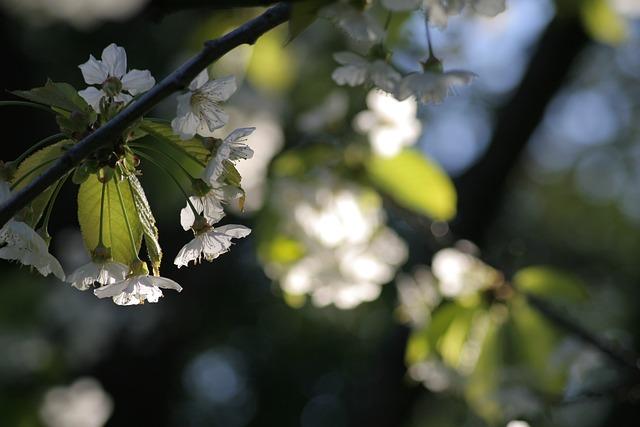 Spring, Bloom, Cherry Blossom, White, Flower, Light