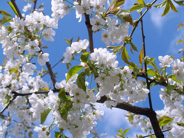 Cherry Blossom, White, Sky, Bloom, Blossom, Bloom