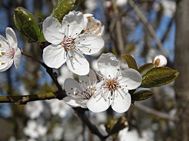 Cherry Blossoms, Close Up, Flowers, Spring, White