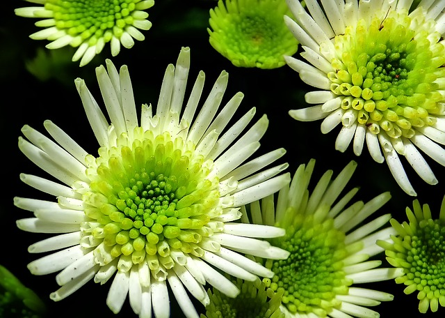 Chrysanthemum, Flower, White, Yellow, Macro