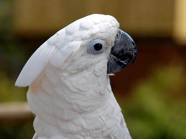White Cockatoo, Bird, Animal