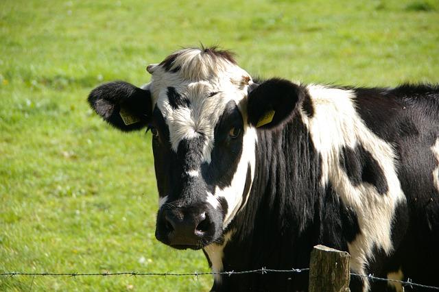 Cow, Beef, Black, White, Milk Cow, Animal